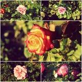 Collage delle rose del giardino nel tempo di giorno Fotografia Stock