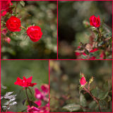 Collage delle rose rosse di knock-out Fotografia Stock
