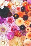 Collage der Dahlie lizenzfreie stockfotos