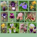 Collage des fleurs d'iris Images libres de droits