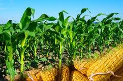 Collage des jungen Mais und der Pfeiler Stockbild