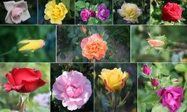 Collage des roses Photos libres de droits