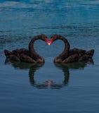 Collage deux cygnes noirs faisant la forme de coeur Photos stock