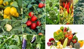 Collage di agricoltura degli ortaggi freschi Immagine Stock