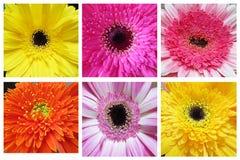Collage di bei fiori della gerbera Immagini Stock Libere da Diritti