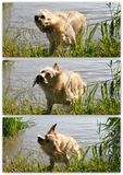 Collage di golden retriever che scuote nel fiume Immagini Stock