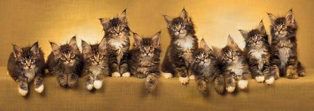 Collage di panorama dei gattini del Coon della Maine Immagine Stock