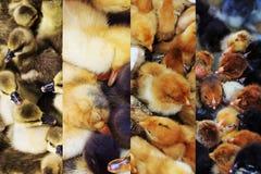 Collage di piccoli polli, anatre ed oche delle fotografie Fotografia Stock