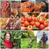 Collage di produzione alimentare - agricoltura - coltivare fotografia stock