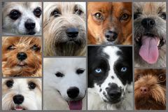Collage of different dog faces. Dog faces, eyes and snouts,  of nine different purebred dogs , collage stock images