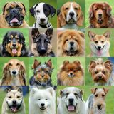 Collage of different dogs. Collage of 16 dogs portraits royalty free stock photography