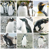 Collage with different penguin species Stock Photo
