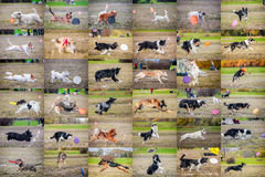 Collage dog frisbee Stock Photography