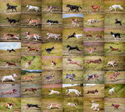 Collage dogs running Royalty Free Stock Image