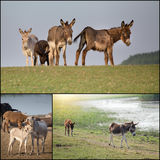 Collage of donkeys Royalty Free Stock Photos