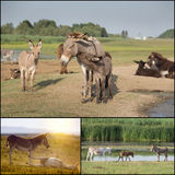 Collage of donkeys Stock Photography
