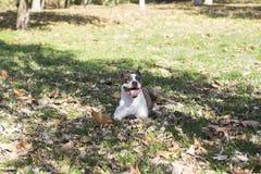 Collage du chien de langue dans l'herbe Images stock