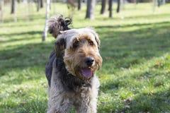 Collage du chien de langue en plan rapproché Photographie stock libre de droits