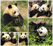 Collage of eating bamboo giant pandas. Collage of eating bamboo pandas Royalty Free Stock Images