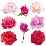 Collage of eight  roses Royalty Free Stock Images