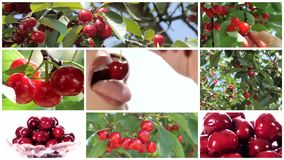 Collage einschließlich die nette Frau, die Kirsche und Kirschbäume isst stock video footage