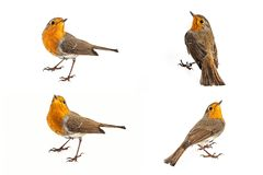Collage of European robin Erithacus rubecula isolated on a white background.  stock photography