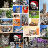 Collage of european short hair cat Royalty Free Stock Images