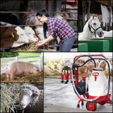 Collage of farm animals breeding Stock Photos