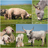 Collage of farming. Collage of beautiful  farming animals Stock Images