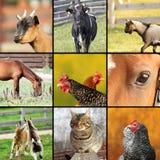 Collage fatto con le immagini degli animali da allevamento Fotografie Stock Libere da Diritti
