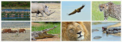Collage fauna of Kenya. Collage of animals in the African savannah, Kenya Royalty Free Stock Image