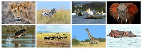 Collage fauna of Kenya Stock Images