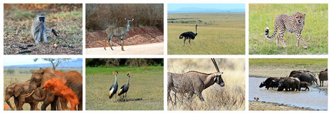 Collage fauna of Kenya. Collage of animals in the African savannah, Kenya Royalty Free Stock Photography