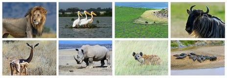 Collage fauna of Kenya. Collage of animals in the African savannah, Kenya Stock Image