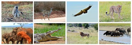 Collage fauna of Kenya. Collage of animals in the African savannah, Kenya Stock Photography
