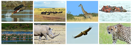 Collage fauna of Kenya. Collage of animals in the African savannah, Kenya Stock Images
