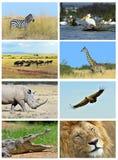 Collage fauna of Kenya. Collage of animals in the African savannah, Kenya Stock Photos