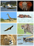 Collage fauna of Kenya Royalty Free Stock Images