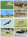 Collage fauna of Kenya Royalty Free Stock Photos