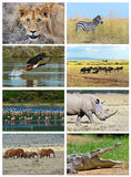 Collage fauna of Kenya. Collage of animals in the African savannah, Kenya Royalty Free Stock Images