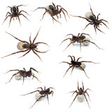 Collage of Female spider carrying her eggs Royalty Free Stock Images