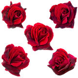 Collage of five dark red  roses Royalty Free Stock Photo