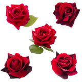 Collage of five dark red  roses Stock Images