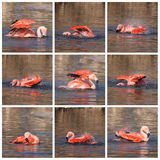 Collage of flamingo Stock Photography