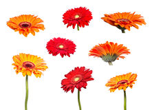 Collage flowers of orange gerbera Royalty Free Stock Images