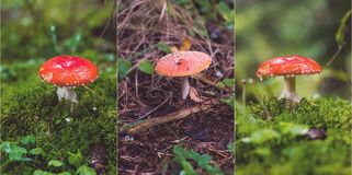 Collage of fly agaric mushrooms Royalty Free Stock Images