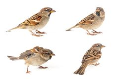 Collage of four Male House Sparrow passer domesticus isolated on a white background.  royalty free stock images