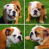Cute english bulldog`s collage Royalty Free Stock Photo