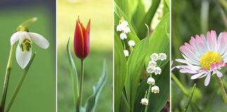 Collage of four springtime flowers. 1. snowdrop closeup, 2. little red tulip, 3. lily of the valley, 4. daisy flower in the grass Royalty Free Stock Image