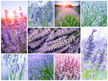Collage with French lavender Royalty Free Stock Images